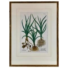 """Johann W. Weinmann's """"Cyperus"""" a Botanical Mezzotint, Pl. #455, 1737-1745"""