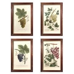 Johann Weinmann Engravings of Grapes