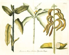 Johann Weinmann: c.18th Engravings, Unframed Mezzotint Print