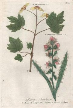 Acer & Carduus - 18th century Weinmann botanical plant flower engraving