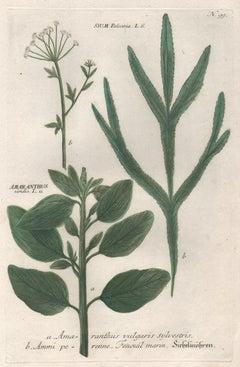 Amaranthus and Ammi perenne - 18th century Weinmann botanical plant engraving