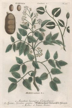 Angelica, Anime and Lobus - 18th century Weinmann botanical plant engraving