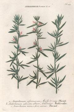 Antirrhinum Orontium - 18th century Weinmann botanical plant flower engraving