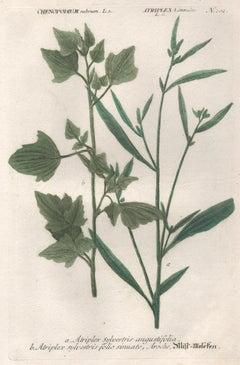 Atriplex sylvestris - 18th century Weinmann botanical herbal plant engraving