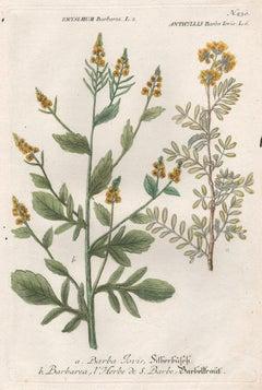 Barba iovis and Barbarea, 18th century Weinmann botanical herbal plant engraving