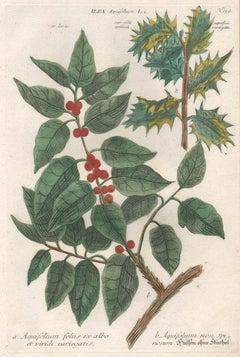 Ilex Aquifolium (Holly) - 18th century Weinmann botanical plant flower engraving