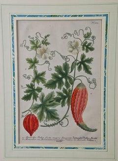 "Johann Weinmann 18th Century Hand Colored Botanical Engraving ""Momordica Indica"""