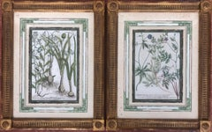 Pair of 18Th Century Botanical Hand Colored Engravings