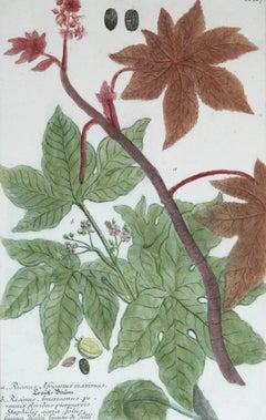 Ricinus Africanus Maximus N. 867 J.W. Weinman original engraving 1737