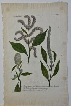 "Weinmann 18th Century Hand Colored Botanical Engraving ""Amaranthus seu Blitum"""
