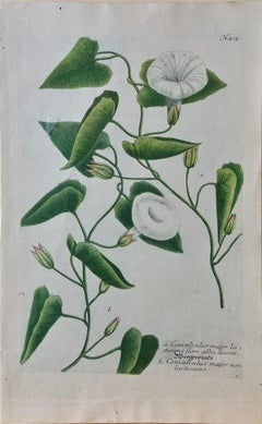 "Weinmann 18th Century Hand Colored Botanical Engraving ""Convolvulus"" (Bindweed)"