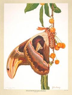Atlas Moth (Attacus atlas) by John Cody