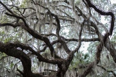 Live Oak 74669, Fine Art Nature Photography, Framed in Plexiglass, Signed