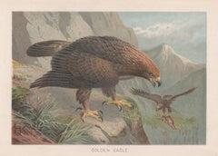 Golden Eagle, Antique Bird of Prey Chromolithograph, circa 1895