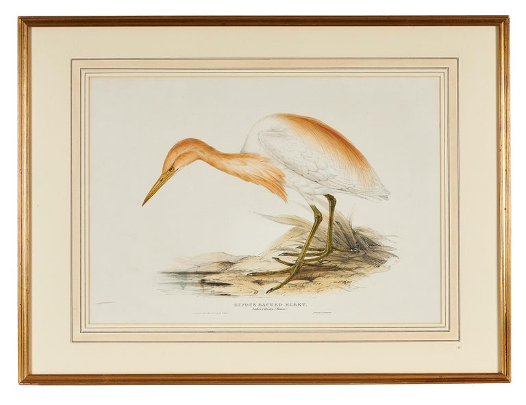 John Gould (English, 1804-1881), 'Rufous Backed Egret, Ardea Rufsata', Cattle Erget, 1832-1837, hand colored lithograph from 'The Birds of Europe', framed.