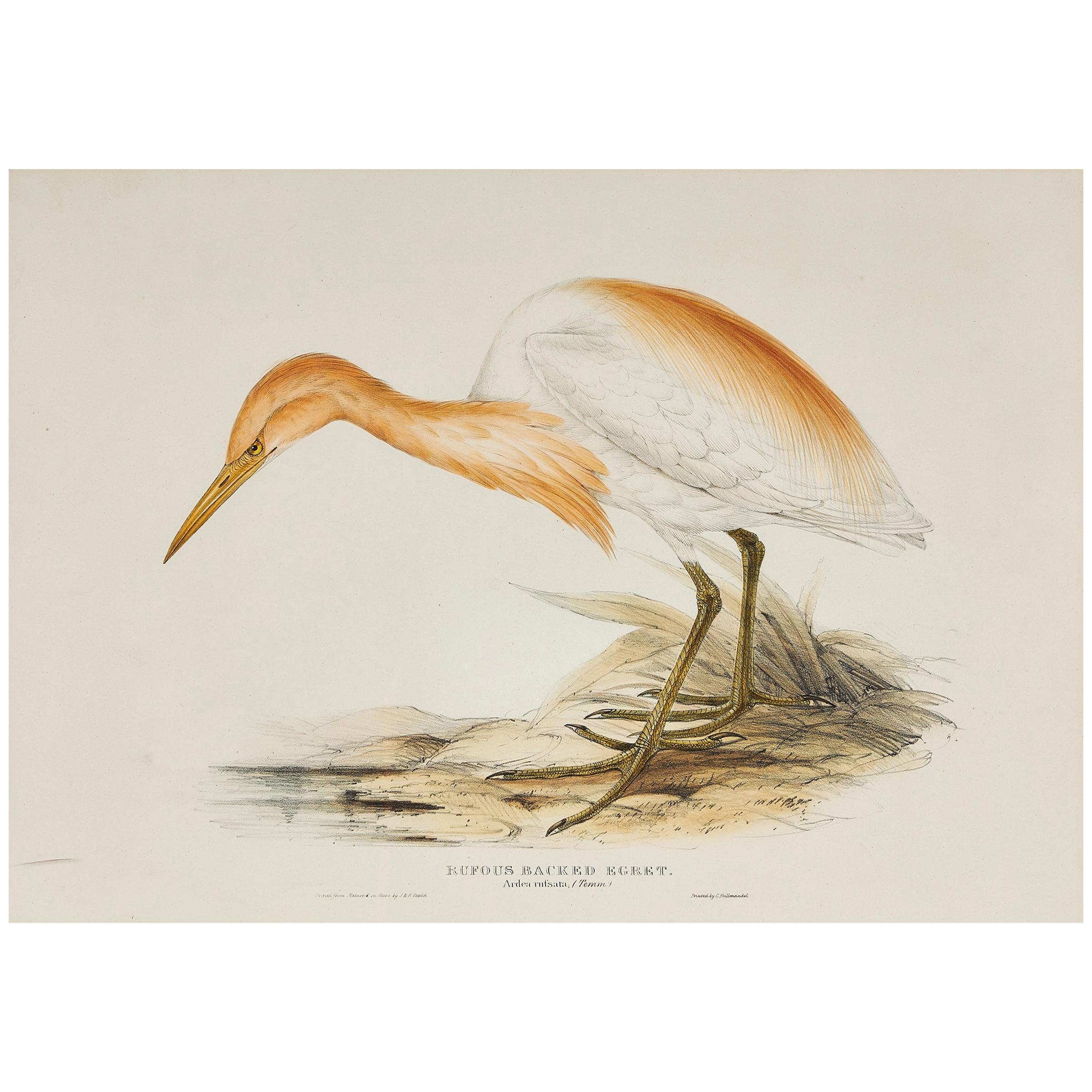 John Gould Lithograph from 'The Birds of Europe'
