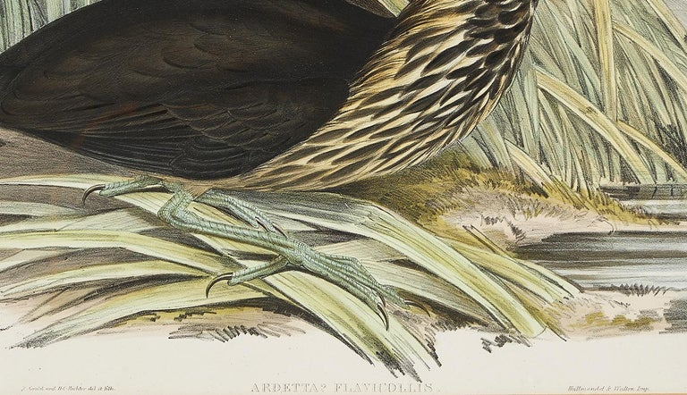British John Gould Lithograph from 'Birds of Australia' For Sale