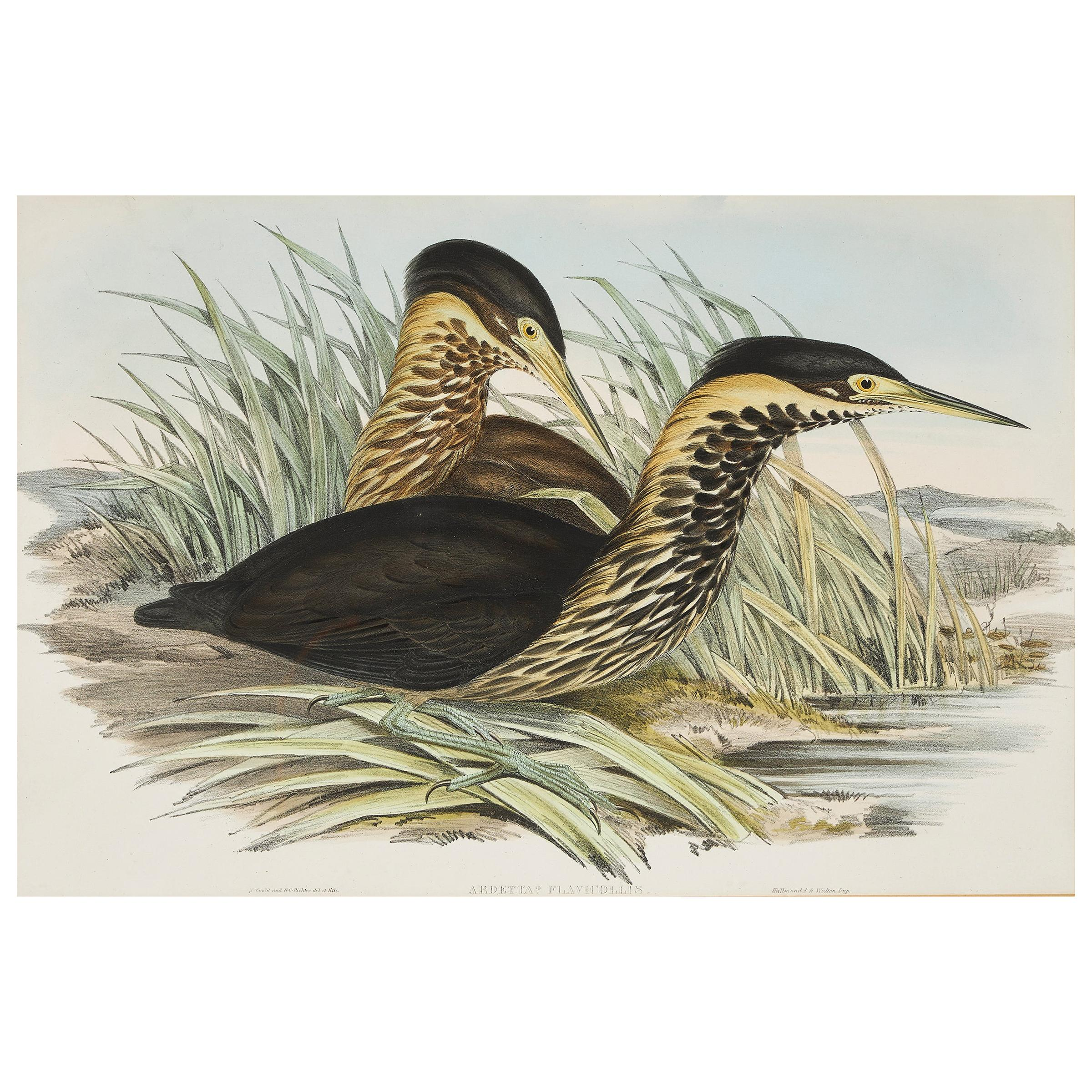 John Gould Lithograph from 'Birds of Australia'