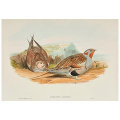 John Gould Lithograph from 'Birds of Great Britain'