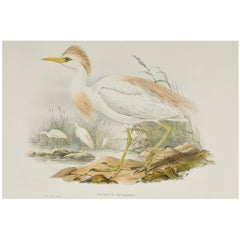 John Gould Lithograph from 'The Birds of Great Britain'
