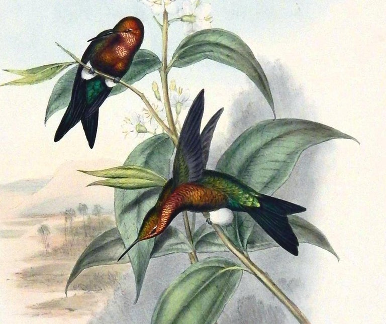 """John Gould original hand-colored lithograph. Featuring a pair of hummingbirds commonly called """"Mosquera's Puff-leg"""" This vintage Gould print is unframed and in good condition with strong fresh color. There is some toning seen around the"""