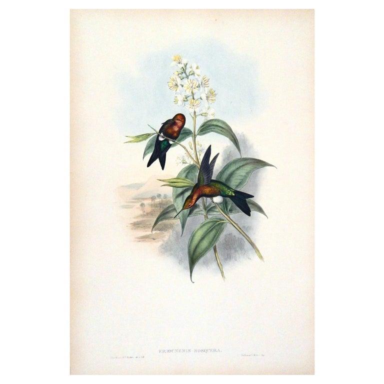 "John Gould Original Hand Colored Lithograph, ""Eriochemis Mosquera"""