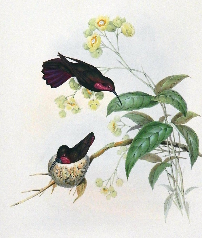 John Gould Original Hand-Colored Lithograph, 'Lampornis Porphyrurus' In Good Condition In Phoenix, AZ
