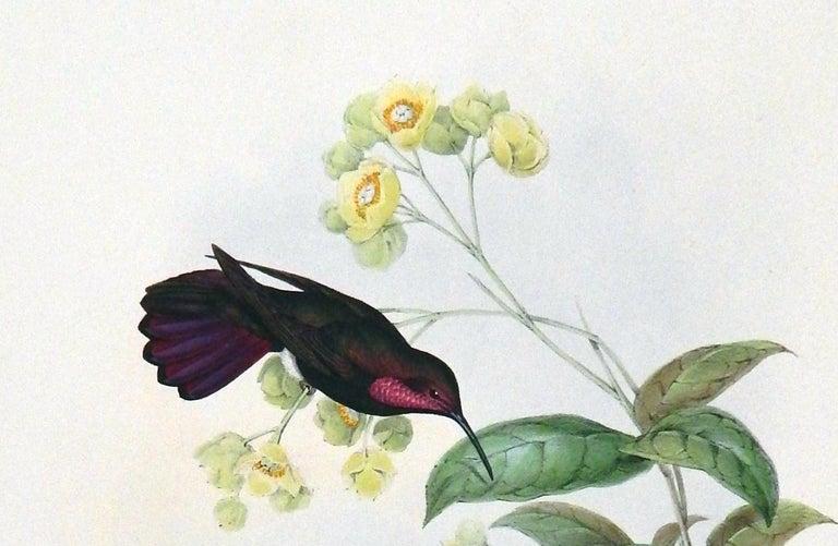 Paper John Gould Original Hand-Colored Lithograph, 'Lampornis Porphyrurus'