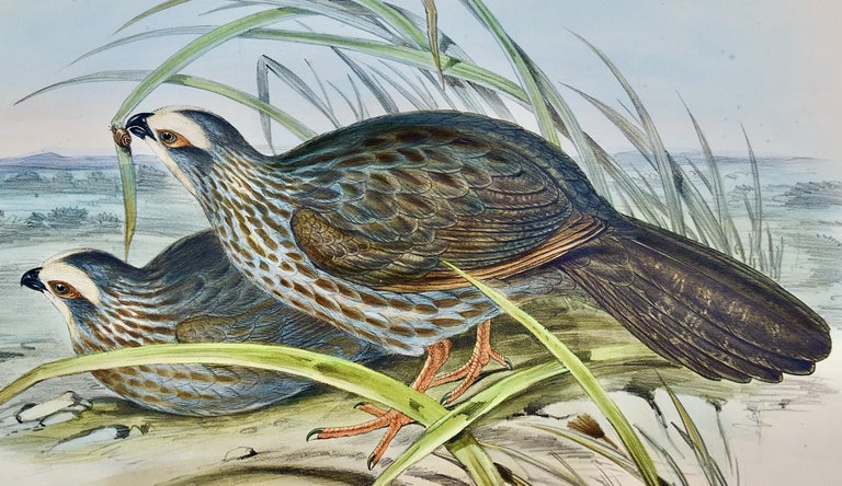 Gould Hand-colored Folio-sized Lithograph of White Eye-browed Partridges - Print by John Gould