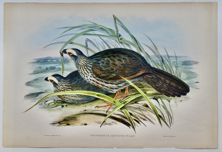 Gould Hand-colored Folio-sized Lithograph of White Eye-browed Partridges For Sale 2