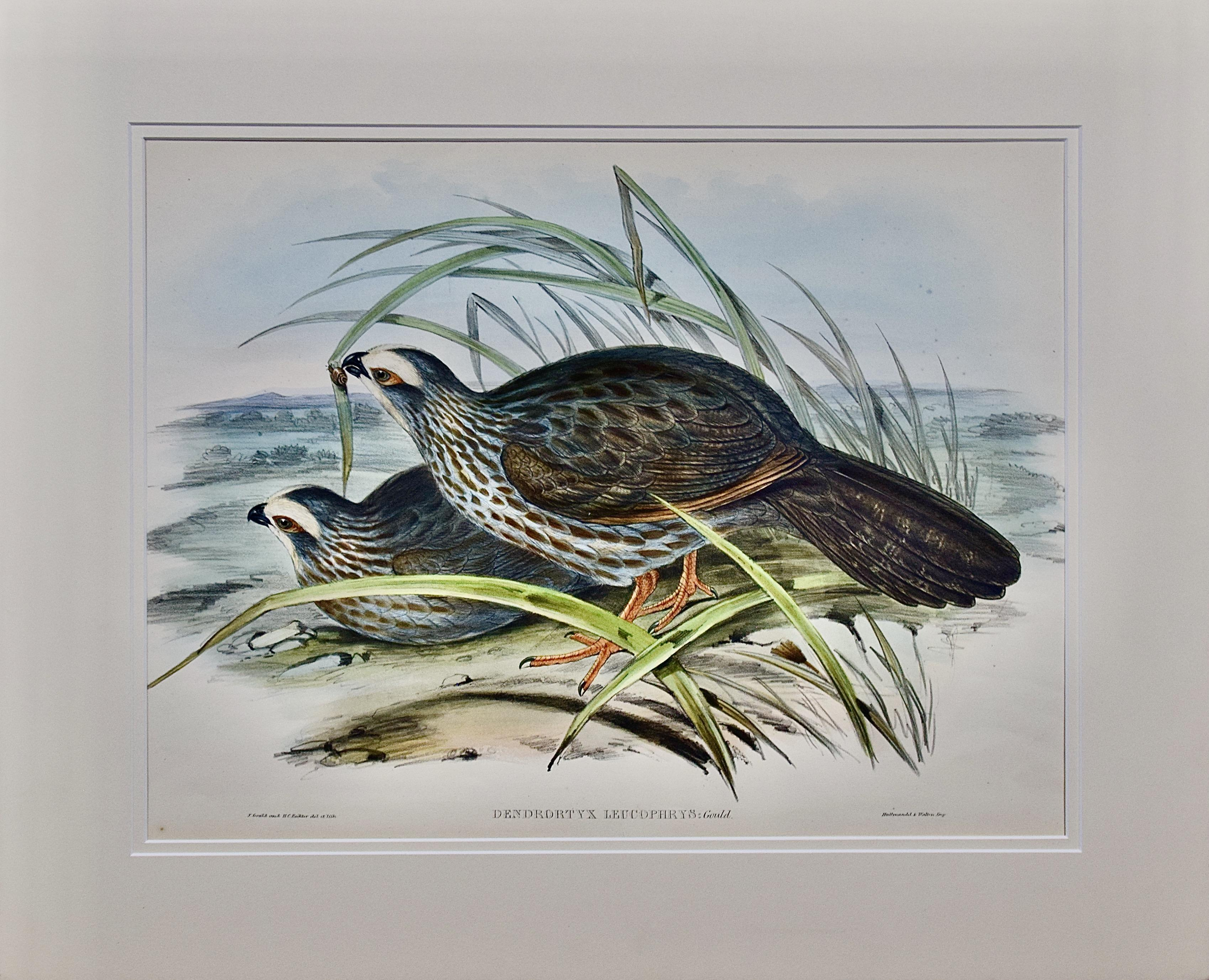 Gould Hand-colored Folio-sized Lithograph of White Eye-browed Partridges