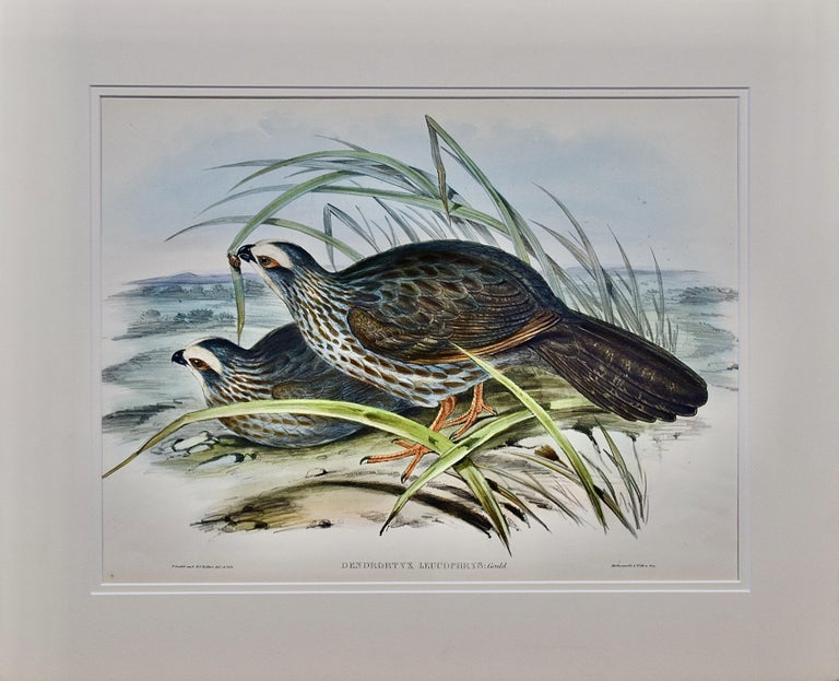 John Gould Animal Print - Gould Hand-colored Folio-sized Lithograph of White Eye-browed Partridges