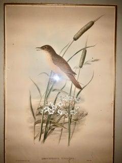Gould & Richter Thrush Warbler Lithograph