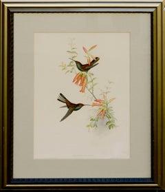John Gould Hummingbirds Urochroa Bougieri, lithograph c.1848