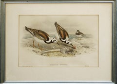 John Gould Turnstone Strepsilas Interpres, lithograph c.1850