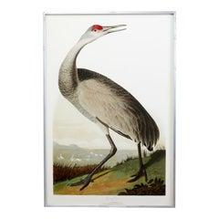 Audubon Hooping Crane Plate #261 Havell Oppenheimer Edition