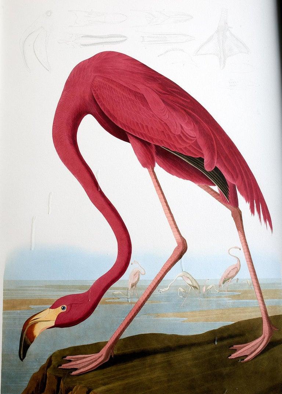 American Flamingo Plate #431 Havell Oppenheimer Edition  - Gray Animal Print by John James Audubon