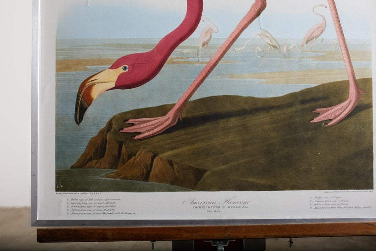 Large framed Audubon chromolithograph American flamingo plate #431. Oppenheimer edition of 200 published in 2006. Set in a museum quality brushed stainless steel frame with filtering plexiglass. Oppenheimer embossed stamp visible on bottom right