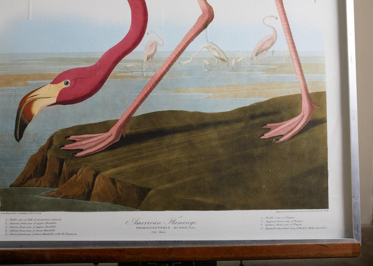 American Flamingo Plate #431 Havell Oppenheimer Edition  For Sale 1
