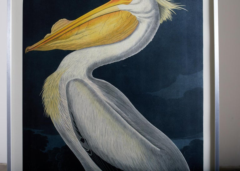 Large framed Audubon chromolithograph American white pelican plate #311. Oppenheimer edition of 200 published in 2006. Set in a museum quality brushed stainless steel frame with filtering plexiglass. Oppenheimer stamp visible on bottom right corner.