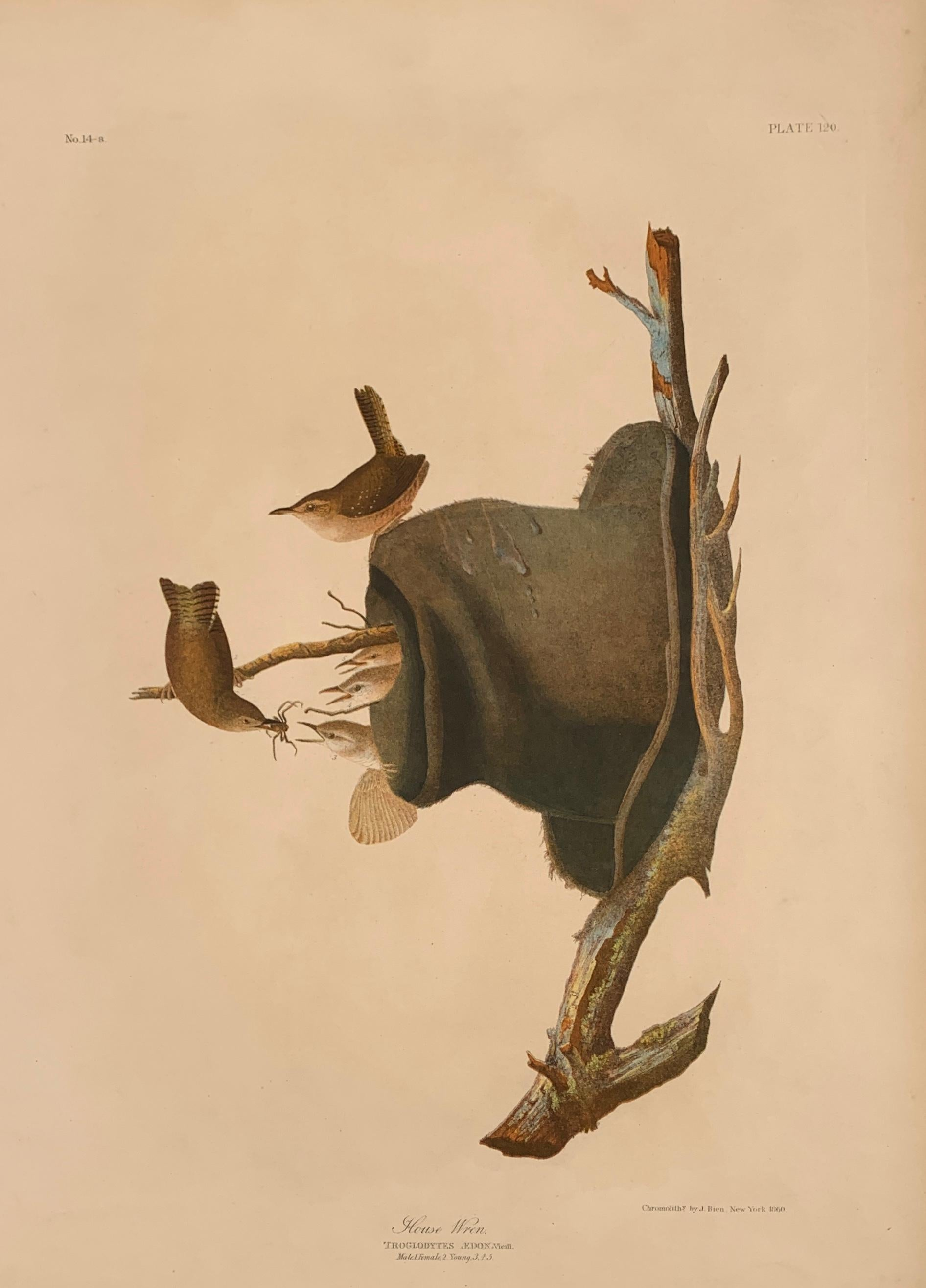 House Wren and its Hat House, from the Bien edition of Birds of America