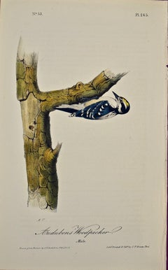 """Audubons' Woodpecker"" Original First Edition Audubon Hand Colored Lithograph"