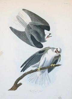 Black-Winged Hawk by J.J.  Audubon Bien Edition 1860