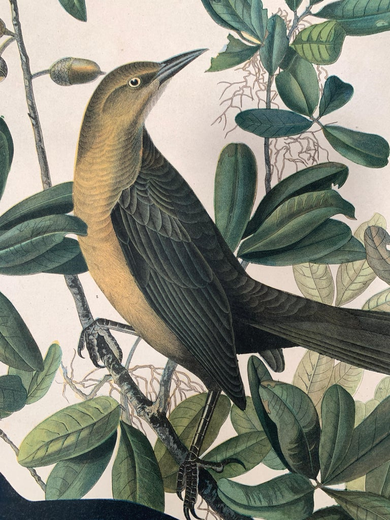 Boat-tailed Grackle, from the Bien edition of Birds of America - American Realist Print by John James Audubon