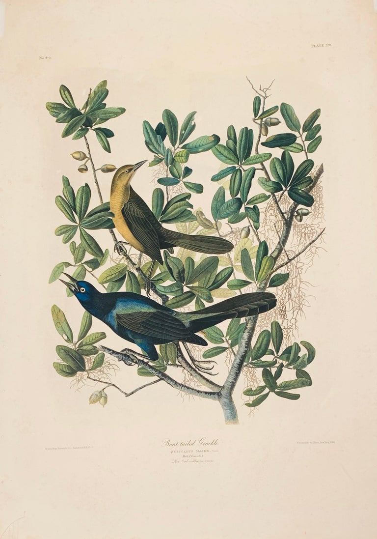 John James Audubon Animal Print - Boat-tailed Grackle, from the Bien edition of Birds of America