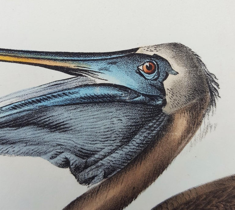 Brown Pelican For Sale 5