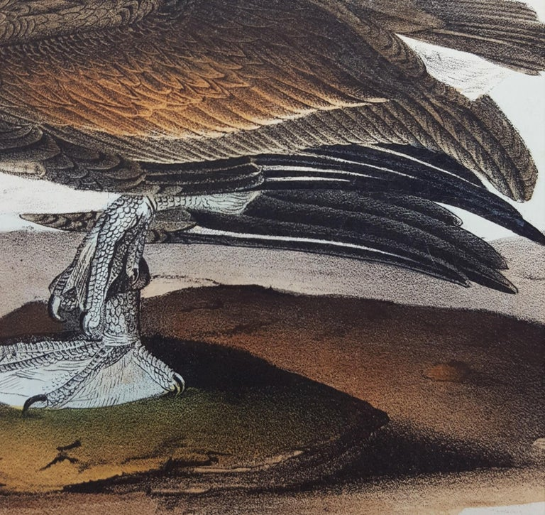 Brown Pelican For Sale 8