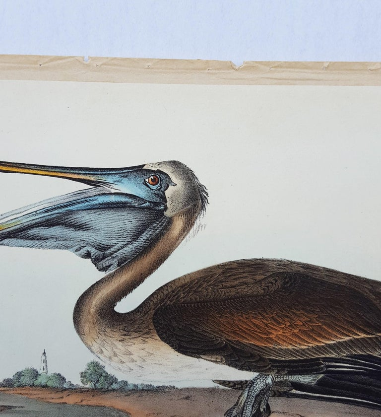 Brown Pelican For Sale 2