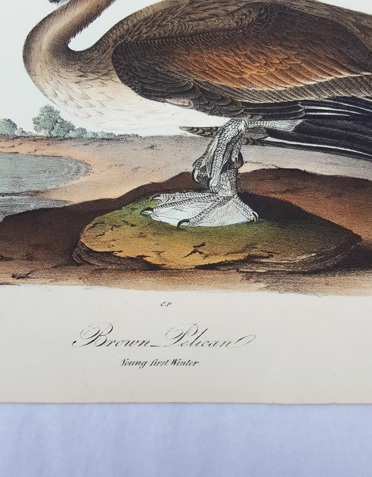 Brown Pelican For Sale 3