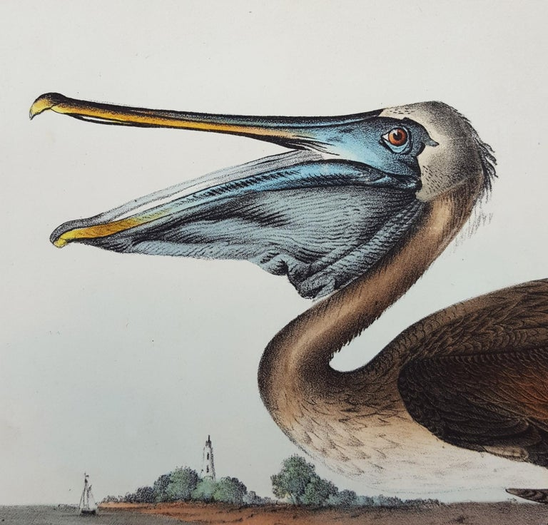 Brown Pelican For Sale 4